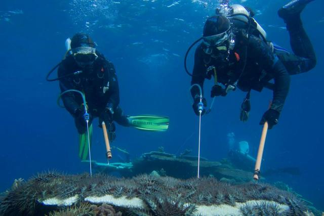 divers crown of thorns